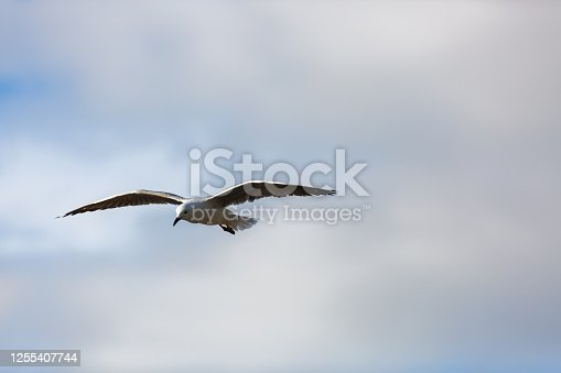 Seagul souring against soft, cloudy blue sky