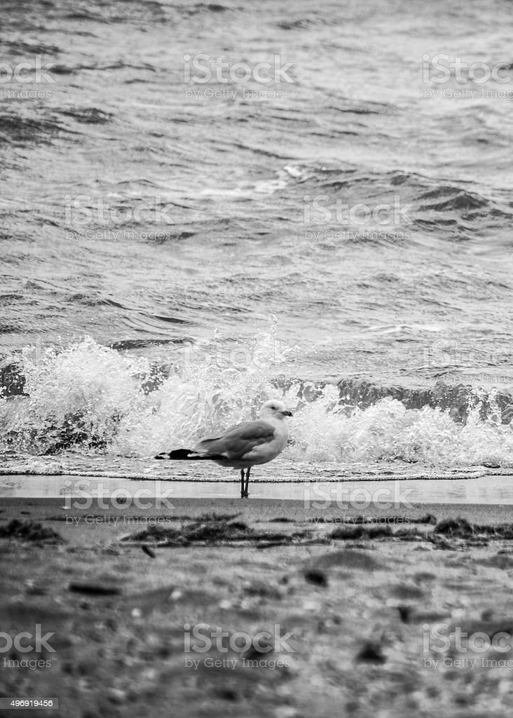 Seagul standing on the beach in black and white stock photo