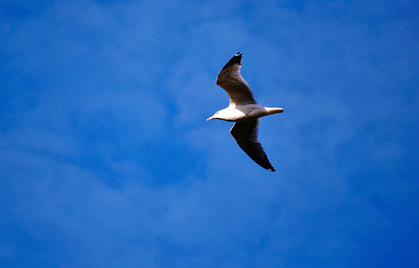 Seagull 2 Seagull flying in the blue sky. neilliebert stock pictures, royalty-free photos & images