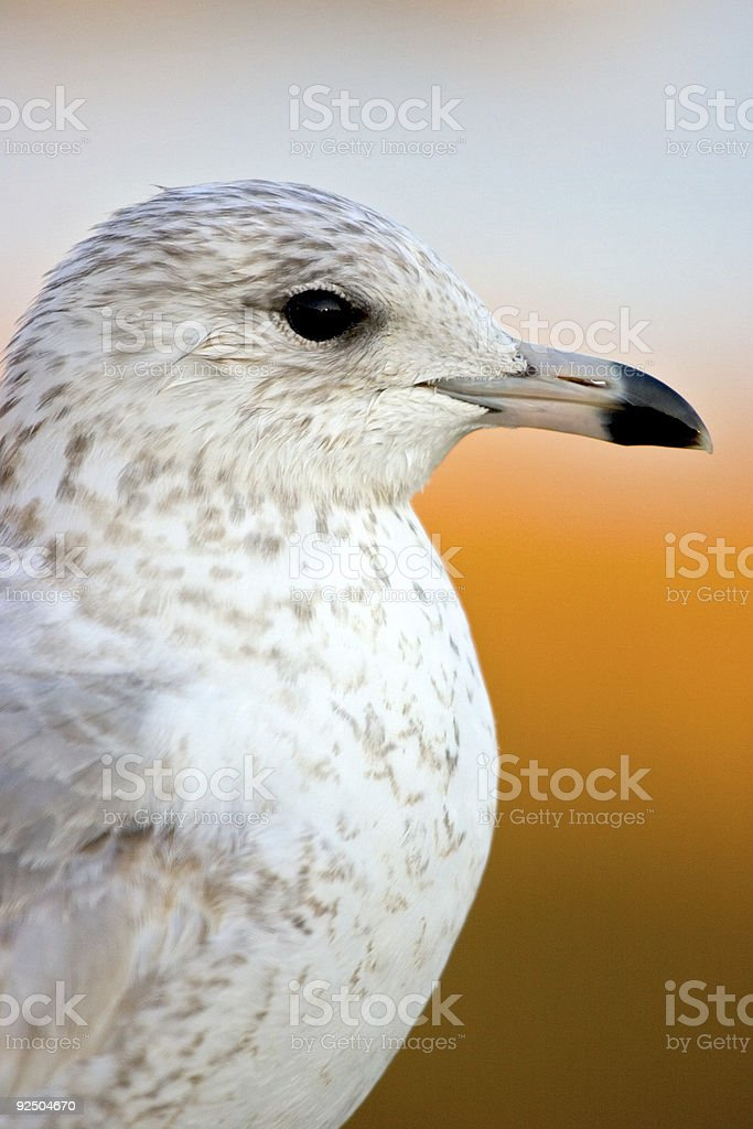 seagull and sunset royalty-free stock photo