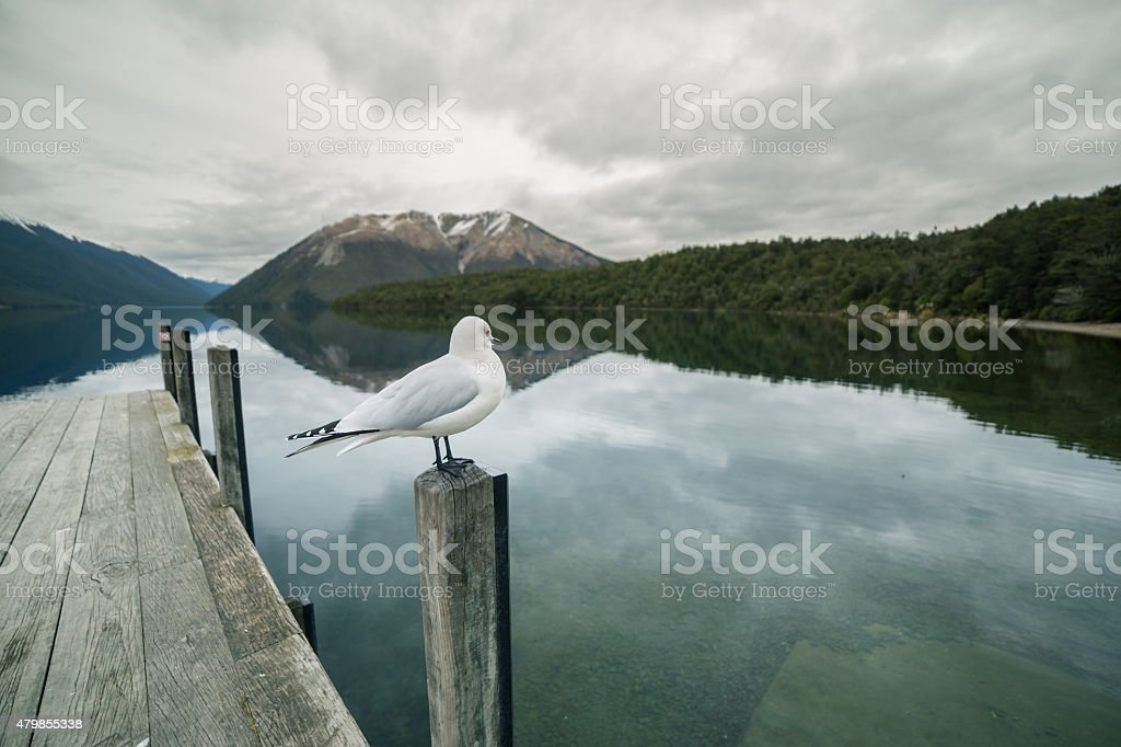 Seagull at Lake Rotoiti stock photo