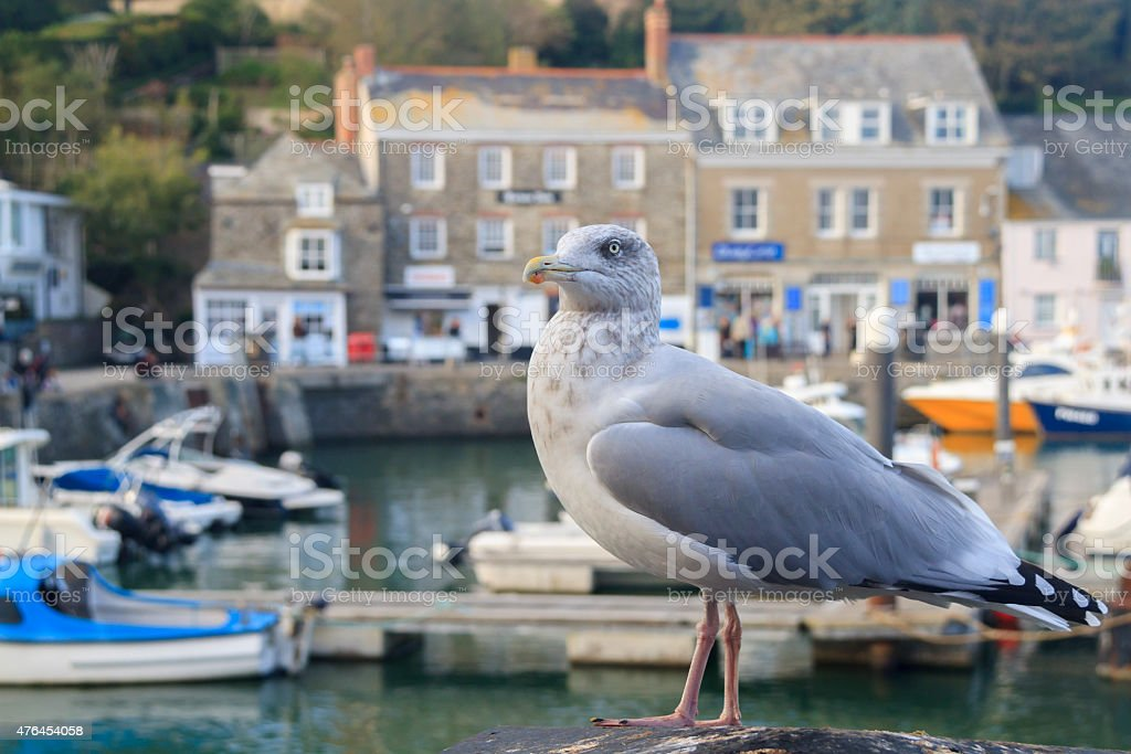 Seagull at Padstow  Cornwall stock photo