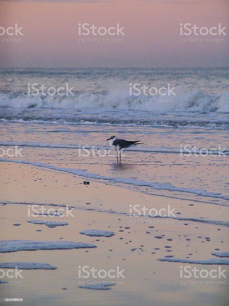 Seagull at sunrise stock photo