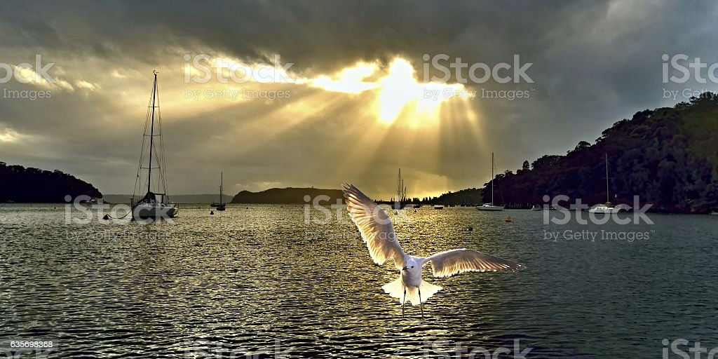 Seagull at Sunrise with Crepuscula Rays. royalty-free stock photo