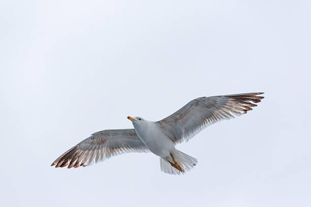 seagull at thassos island near keramoti kavala greece stok fotoğrafı