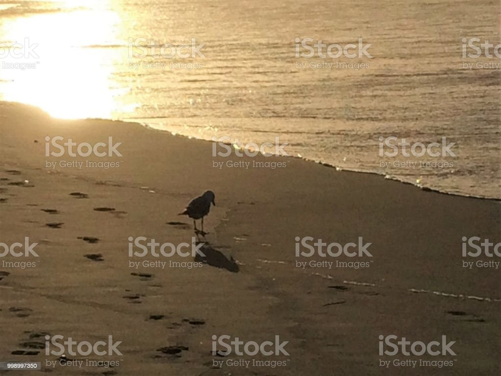 Seagull at the beach at sunset stock photo