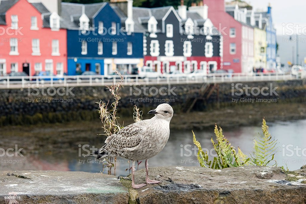 Seagull at Tobermory harbour, Isle of Mull, Scotland stock photo