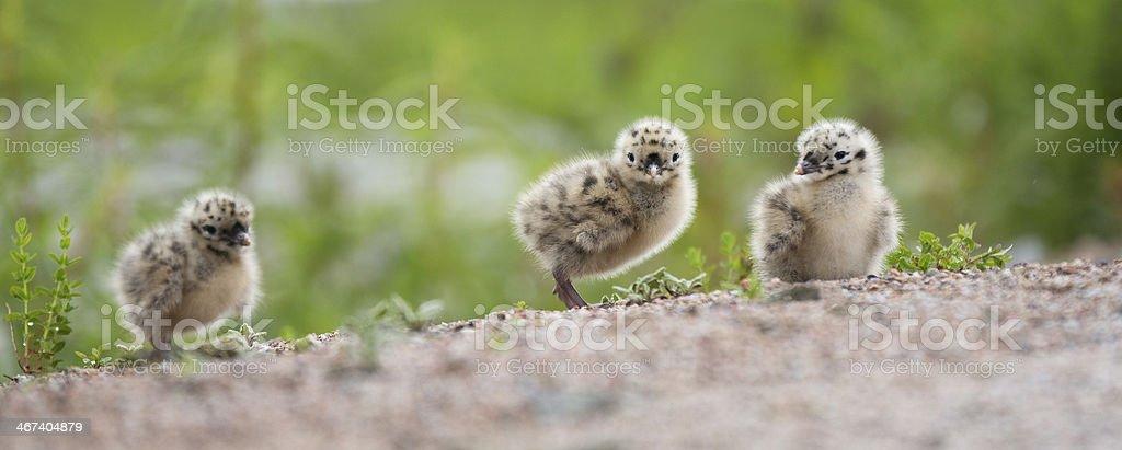 seagull baby birds walking stock photo