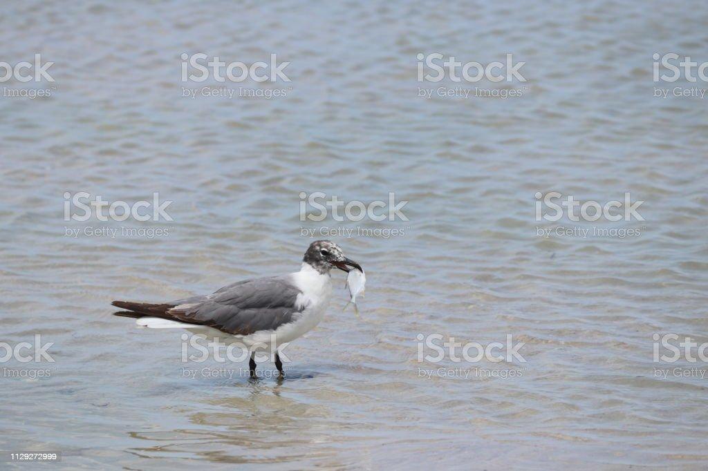 Seagull bird fishing on beach.