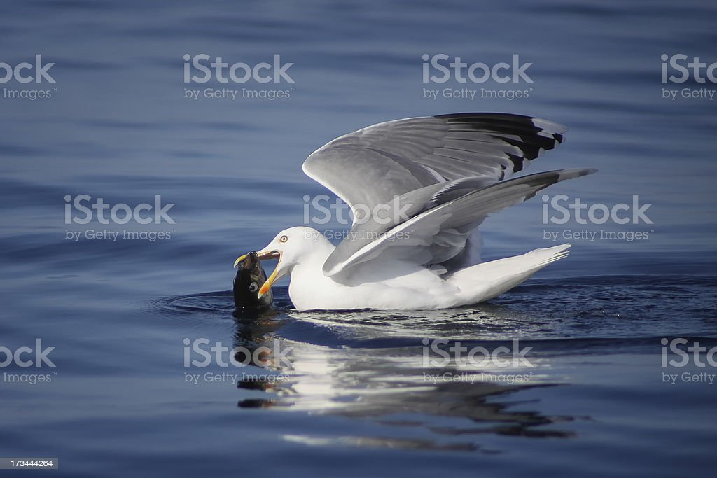 seagull caught a fish royalty-free stock photo
