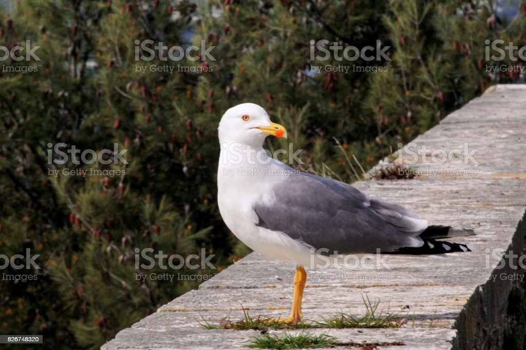 Seagull close shot and resting on dock. Seagull standing on a stone wall and rest with pine forest is a beautiful natural environment in the background. Seagull close shot and posing of the camera. stock photo
