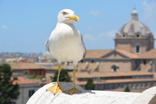 Primer plano de gaviota en Roma - foto de stock