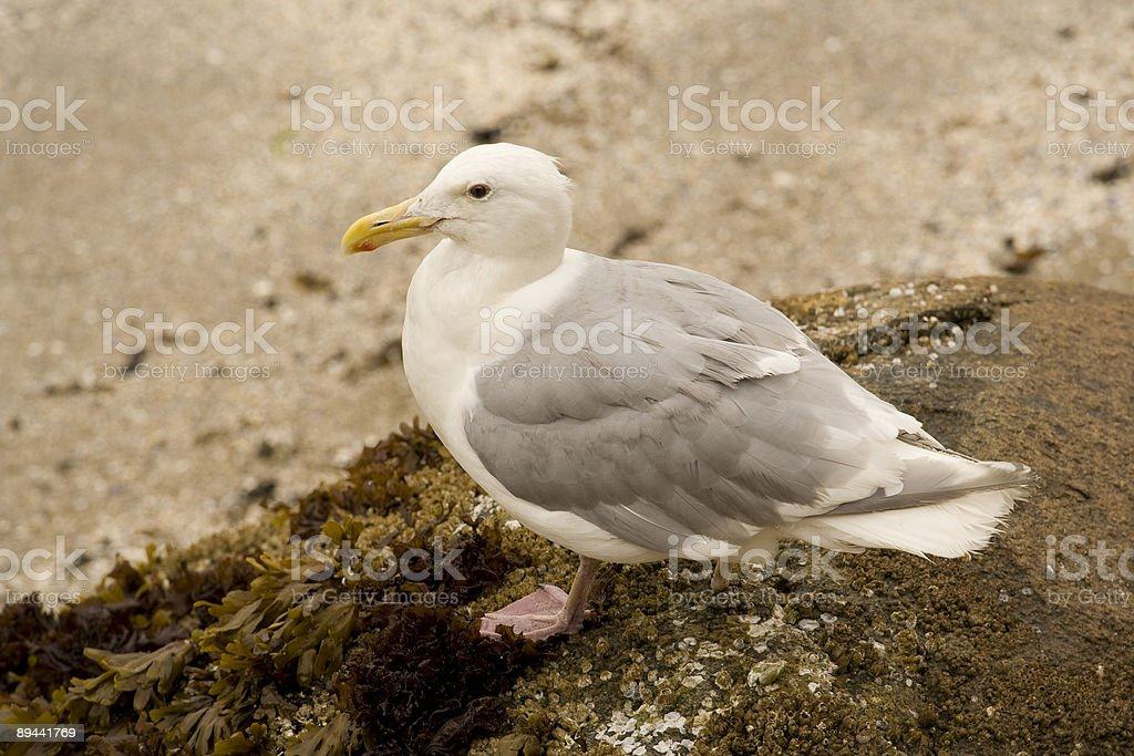 seagull close-up royalty-free stock photo