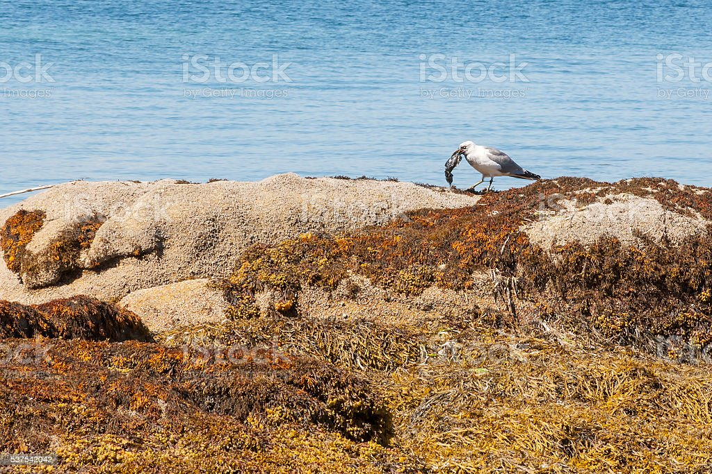 Seagull eating a cuttlefish stock photo