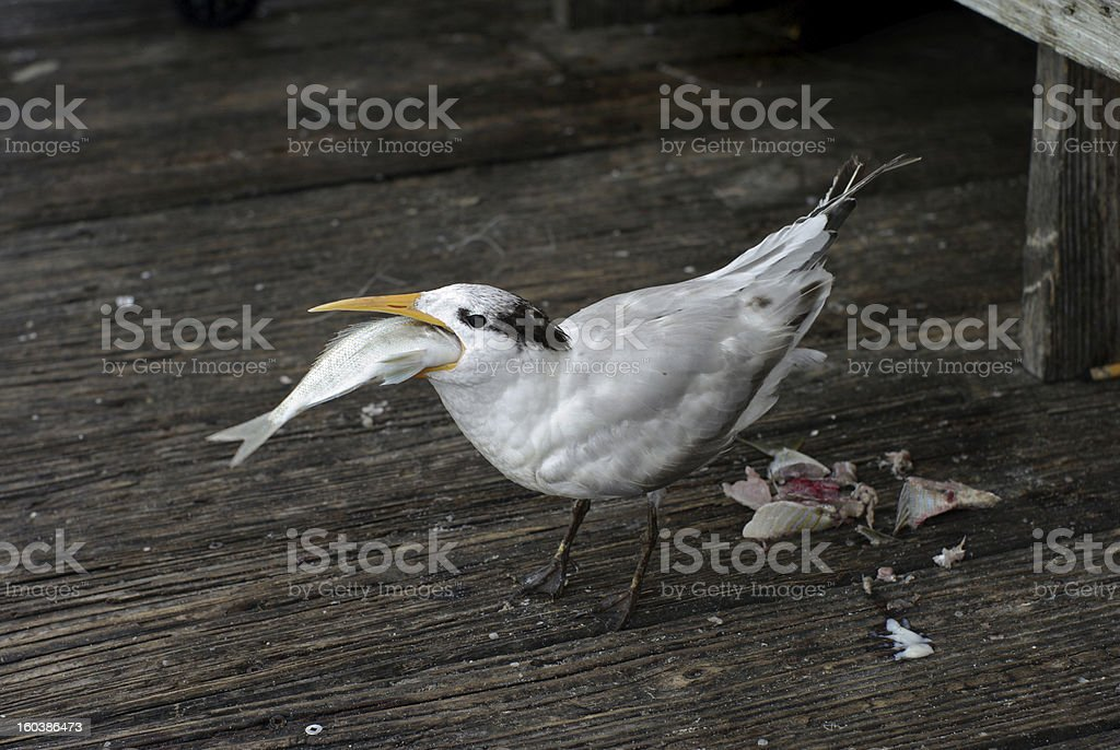 Seagull eating a fish stock photo