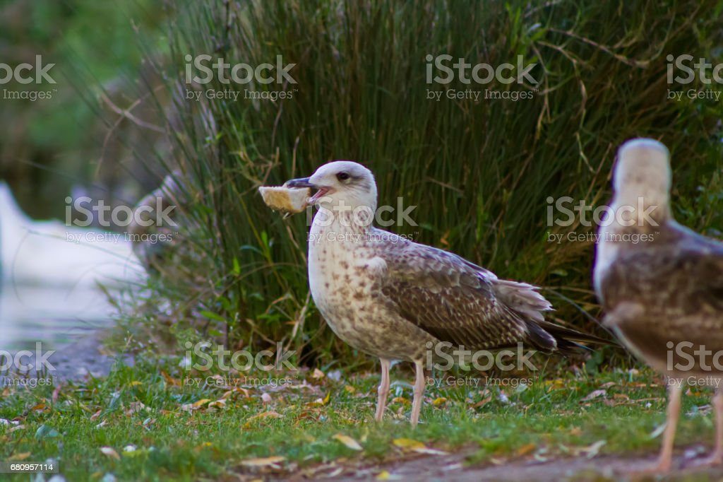 Seagull eating a piece of bread in the park royalty-free stock photo