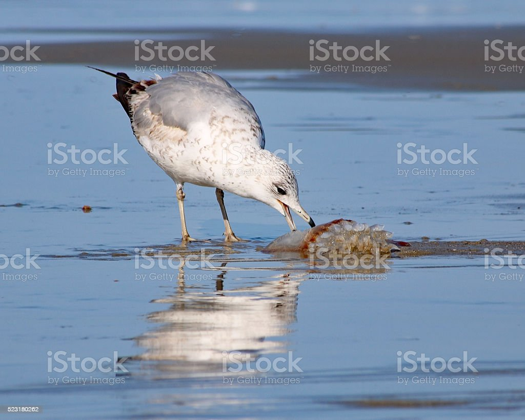 Seagull eating jellyfish stock photo