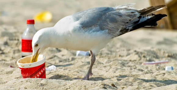 Seagull eating food and the polystyrene container that was left on the beach. This careless waste disposal can kill the bird