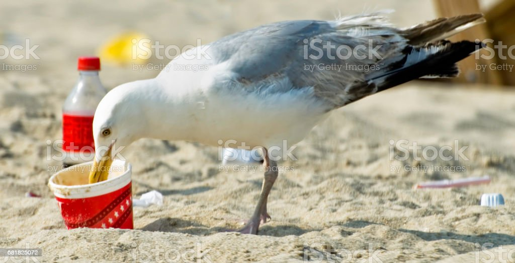 Seagull eating trash on beach stock photo