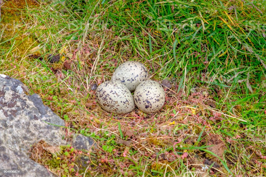 Seagull Eggs In The Nest Stock Photo - Download Image Now
