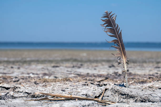 Seagull feather sticks in the ground on the shore of a salt lake stock photo