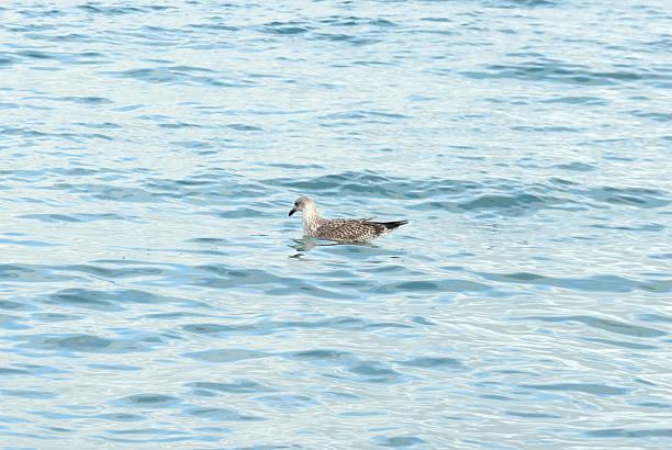 Seagull fishing in the sea stock photo