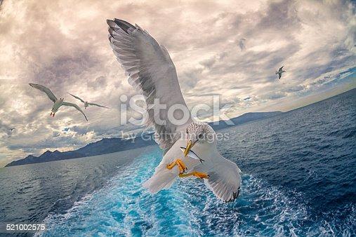 istock Seagull fishing 521002575