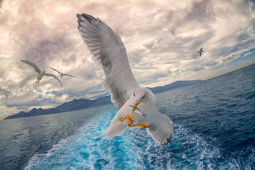 beautiful Seagull holding fish in a beak in front of camera on a cruise boat