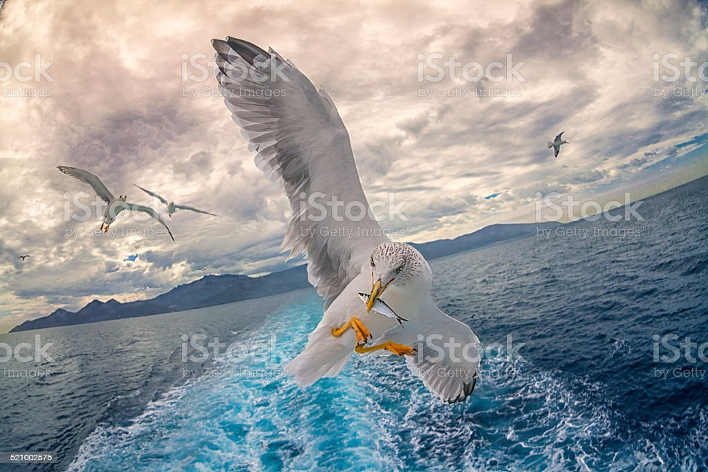 Seagull fishing stock photo