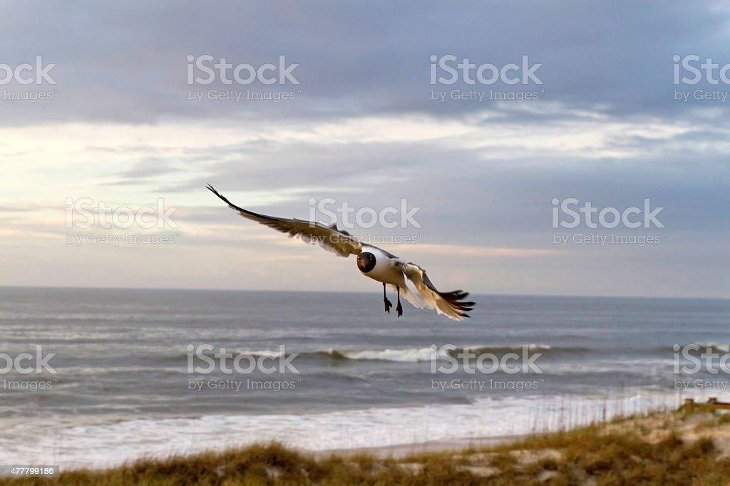 Seagull Flies At Dusk stock photo