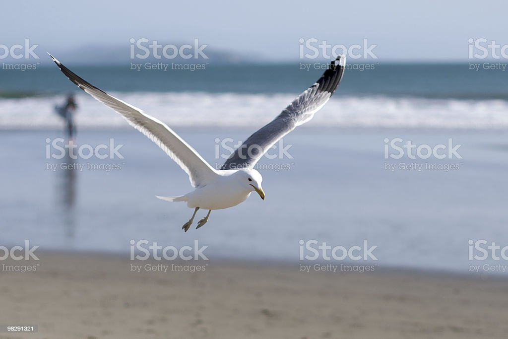 seagull flies near water's edge royalty-free stock photo