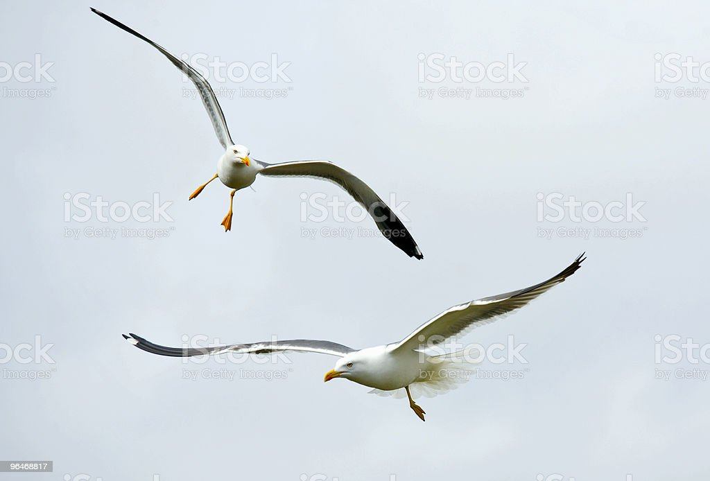 Seagull flies royalty-free stock photo