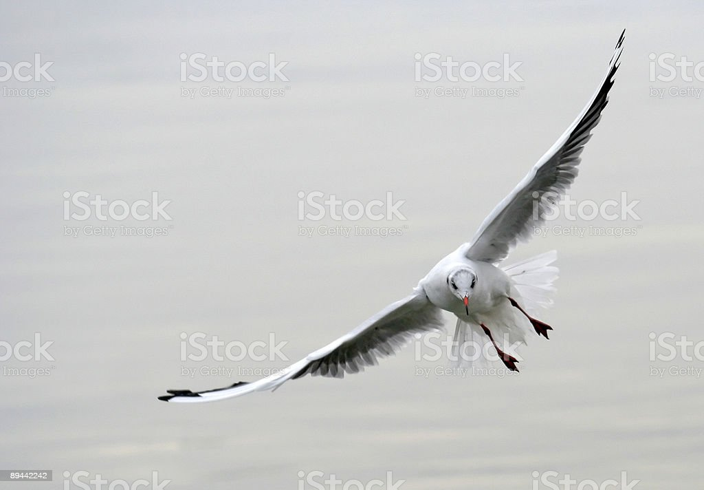 Seagull Floating On The Wind. Flying. Bird. royalty-free stock photo