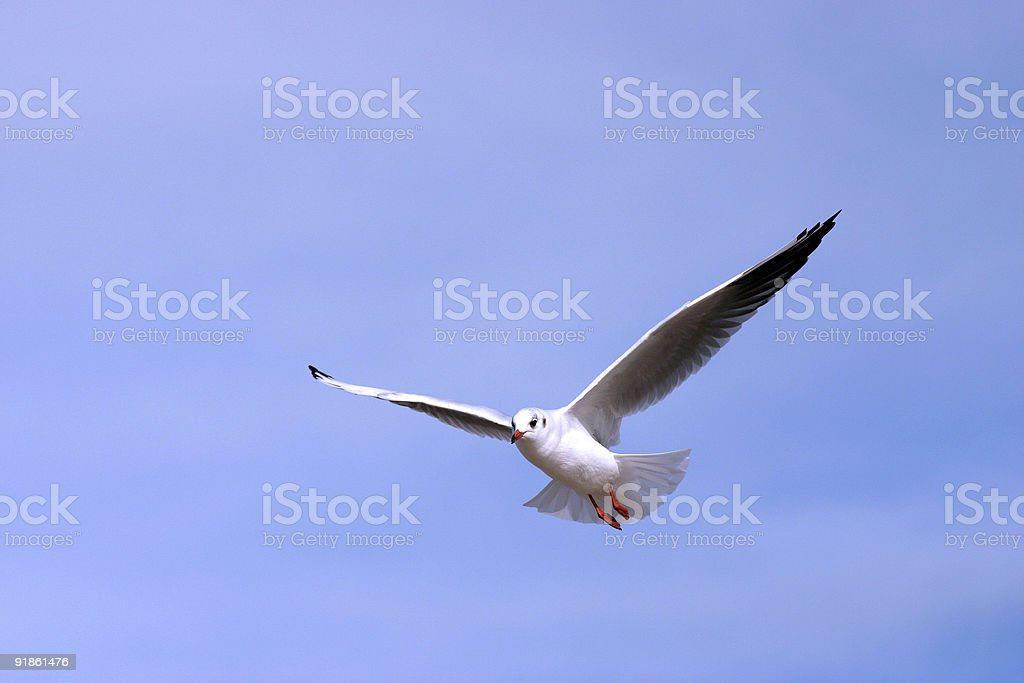 Seagull fly by royalty-free stock photo