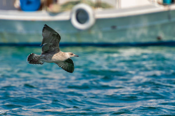 Seagull flying against a fishing boat at Elafonisos in Greece. stock photo