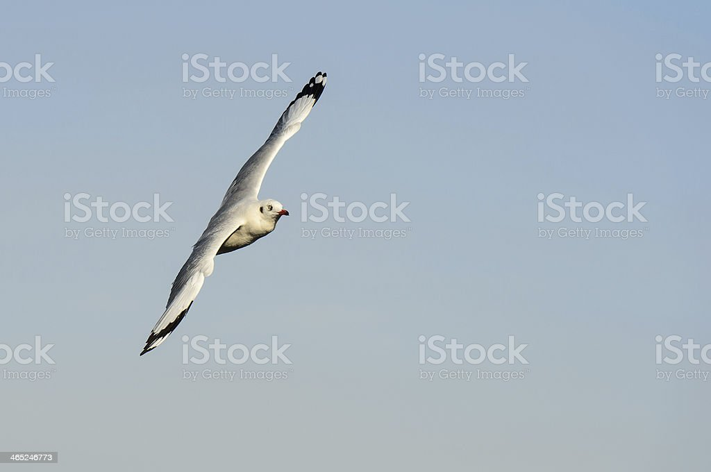 Seagull flying and look for food on blue sky stock photo