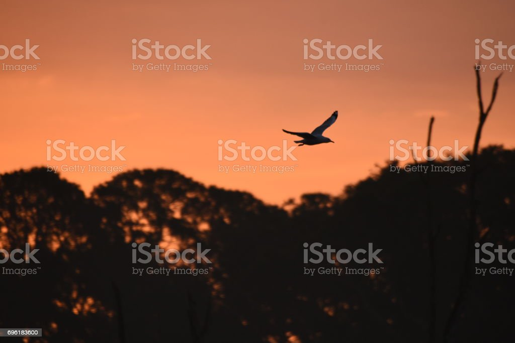 Seagull flying at sunset stock photo