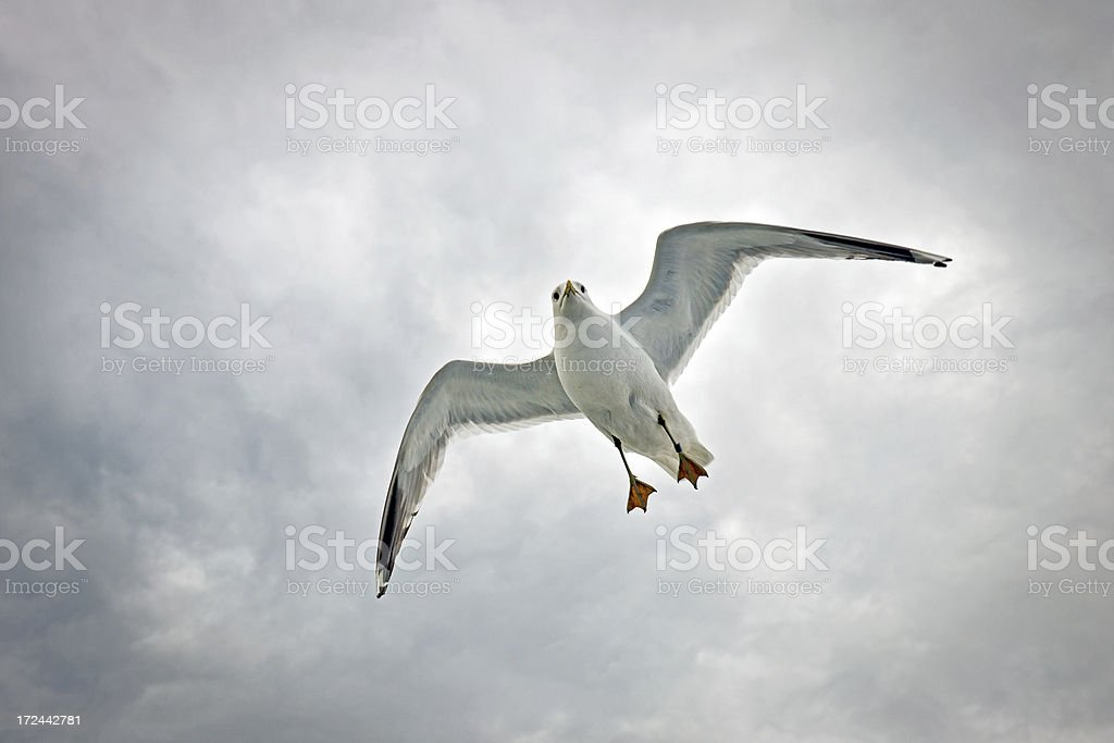Seagull Flying in Gulf of Finland royalty-free stock photo