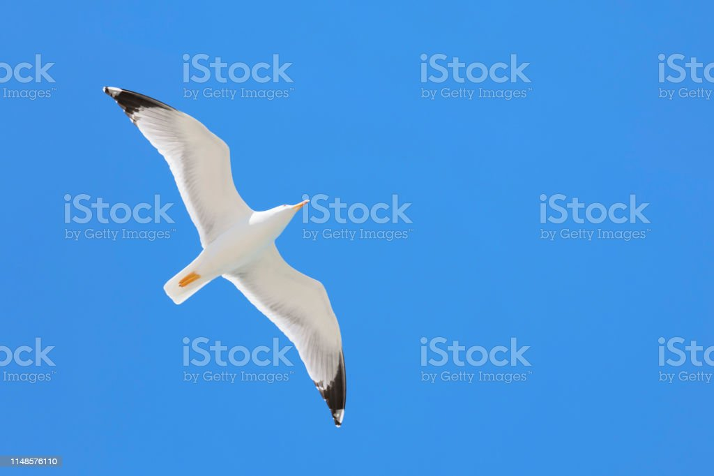 seagull flying in the blue sky