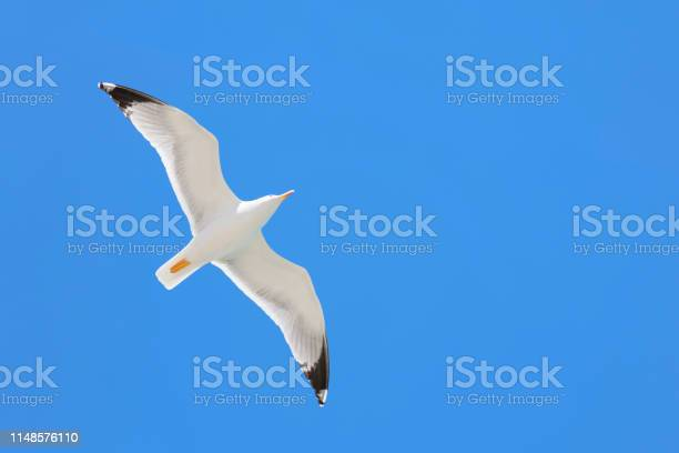 Seagull flying in the blue sky picture id1148576110?b=1&k=6&m=1148576110&s=612x612&h=hhmik 2hbtlader ss z86cnzjnqvf2 yp26ju gioq=