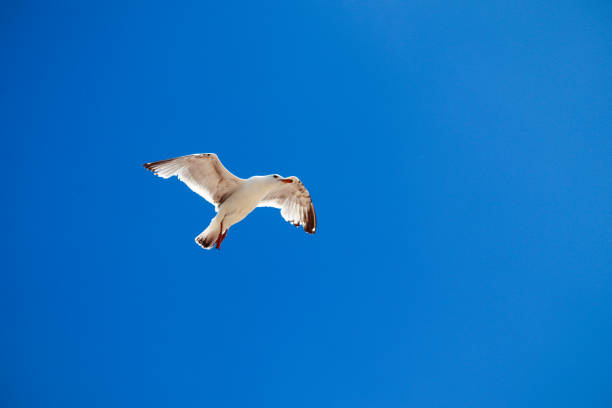 Seagull flying in the blue sky stock photo
