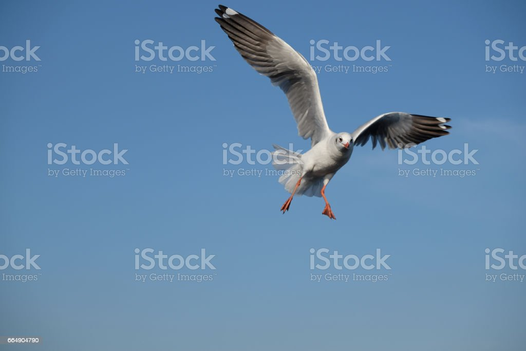 Seagull flying in the blue sky. foto stock royalty-free