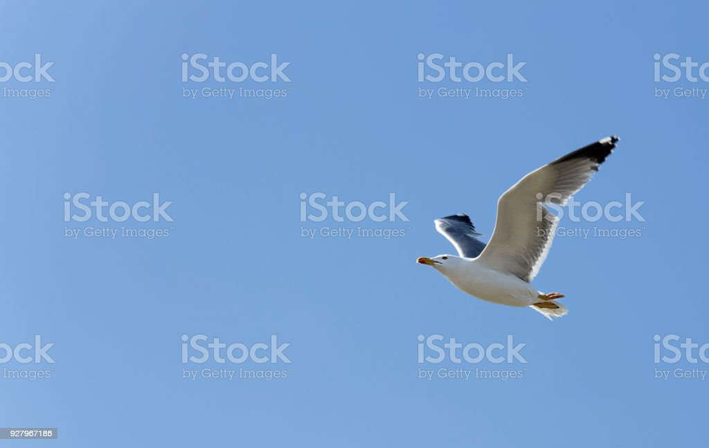 Seagull flying in the Natural Park of Las Salinas. stock photo