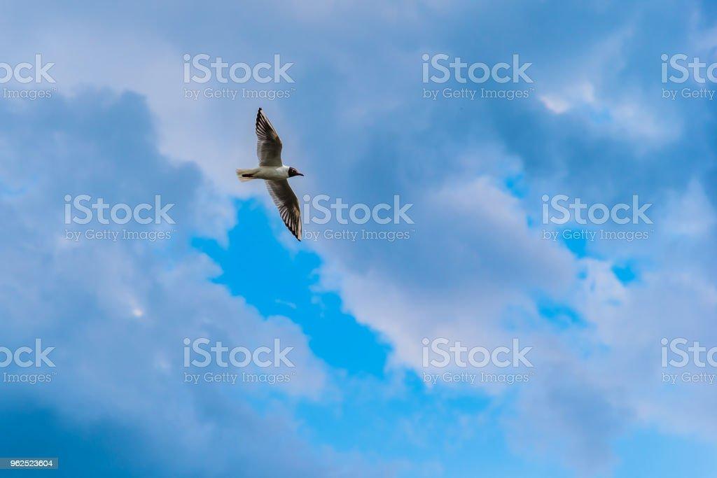 Gaivota voando no céu com nuvens - Foto de stock de Acima royalty-free
