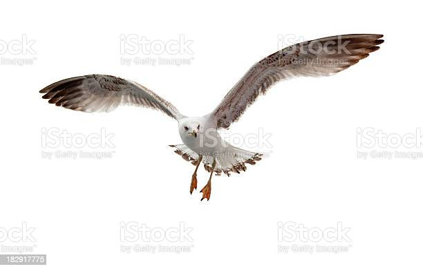 Photo of Seagull flying in white background