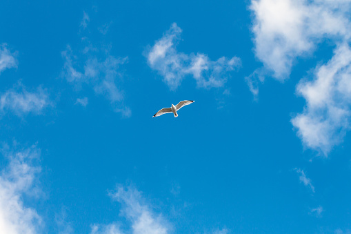 Seagull Flying on a Blue Summer Day, Wales, United Kingdom