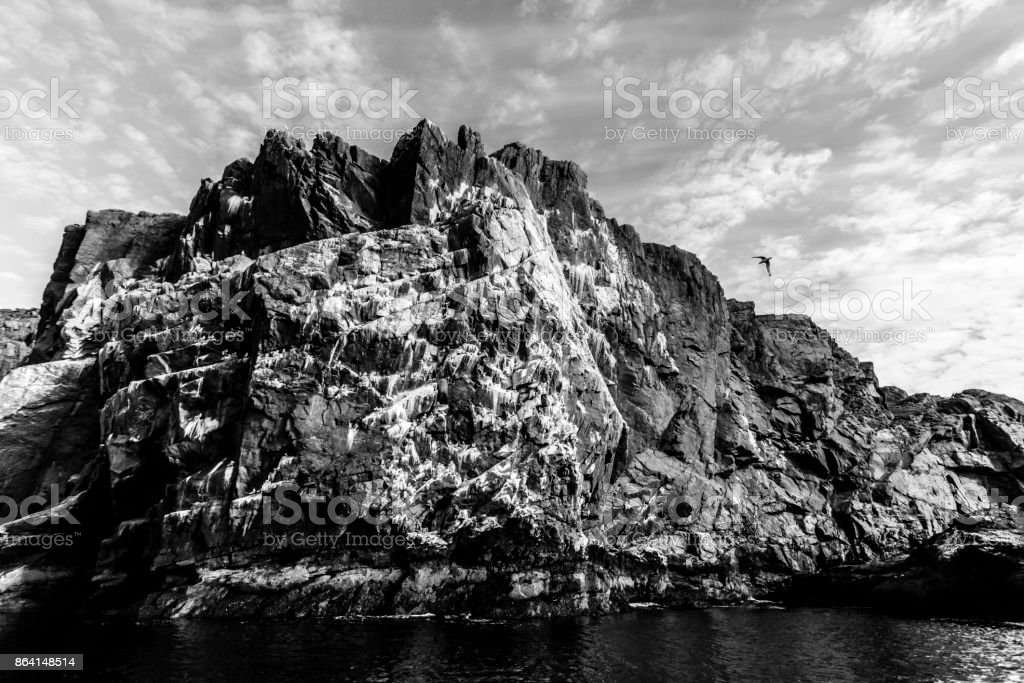 Seagull   flying over big cliff where is colony of seabirds. Barents sea, Arctic ocean, Kola Peninsula, Russia royalty-free stock photo
