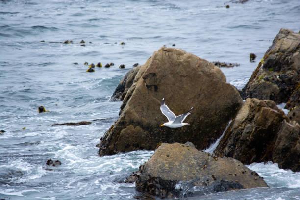 Seagull Flying Over Monterey stock photo
