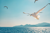 Seagull flying over sea and following ferryboat for food