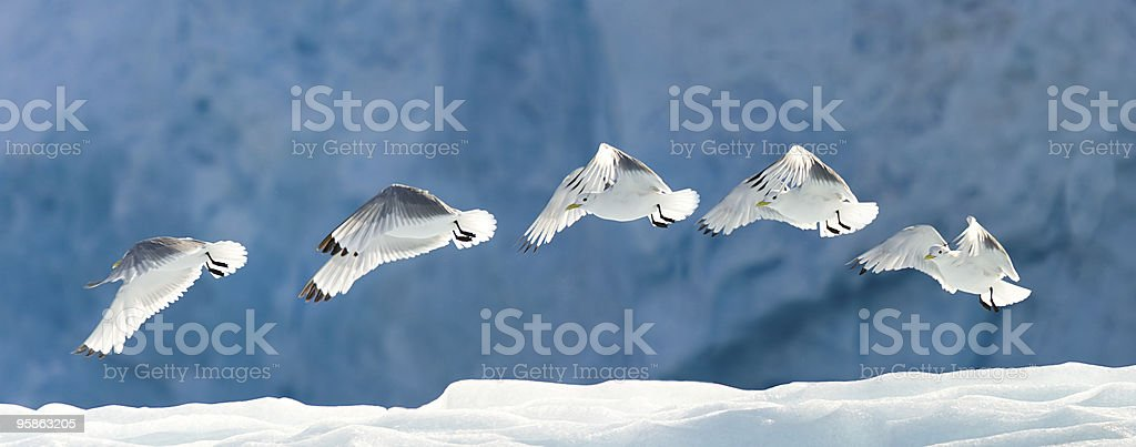 Seagull Flying Over Snow stock photo